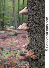 tinder fungus - oak tree trunk with tinder fungus