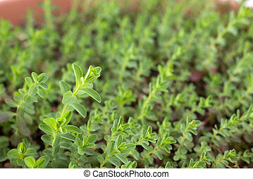 St johns wort plants - Close up of young st johns wort...