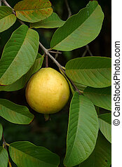 Guava fruit Psidium guajava L on tree