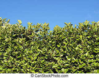 Hedgerow of shrubs or trees enclosing or separating fields