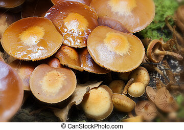 changeable pholiota - Kuehneromyces in a detail shot