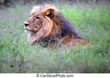 Head Lion - An African lion hunting in the bush in Kenya on...