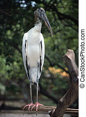 Ibis resting on a dry branch