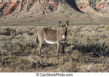Red Rock Nevada Burro - Wild Burro at Red Rock Canyon...