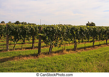 Vineyards - View of vineyards in Friuli Venezia Giulia,...