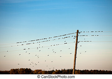 birds on electric wire - birds sitting on electric wire