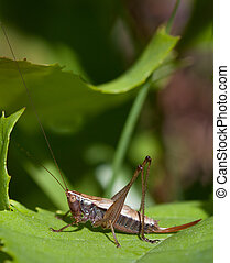 Meadow Katydid - Woodland Meadow Katydid Conocephalus...