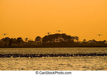 Landing strip - Silhouettes of five Snow geese landing in...