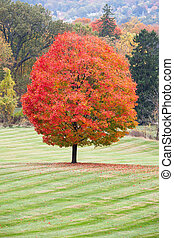 Sugar Maple - A beautiful sugar maple with peak fall colors