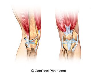 Human knee cutaway illustration. Anatomy image. - Human knee...