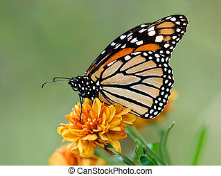 Migrating Monarch butterfly - Monarch butterfly Danaus...