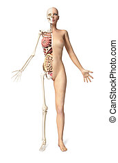 Naked woman body standing, with half cutaway showing skeleton and all internal organs. Front view, on white background, With clipping path included.