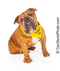 Bulldog Wearing Adopt Me Bandana - Bulldog sitting against a...