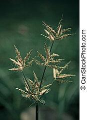 Nutsedge, Purple, Cyperus rotundus, Monocot, Summer...