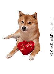 Japanese Shiba Inu dog in front of a white background with red heart