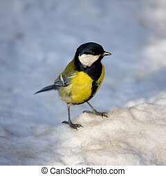 Titmouse on snow close up in the winter
