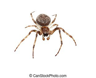 Spider - Cross spider isolated on white background