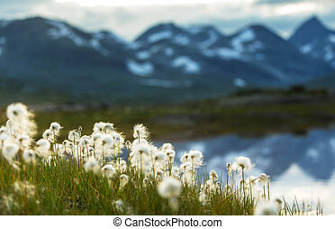 Cotton flowers - arctic cotton flowers