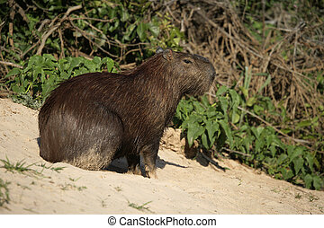 Capybara, Hydrochoerus hydrochaeris, animal on land, Brazil