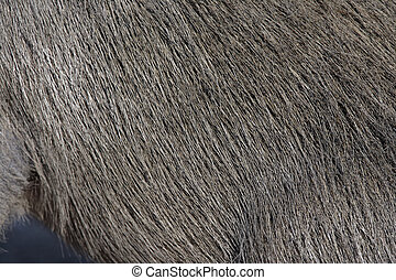 Capybara, Hydrochoerus hydrochaeris, close up of coat, fur,...
