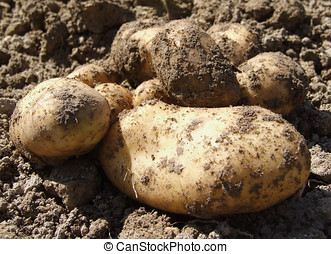 Potatoes freshly dug, on the soil