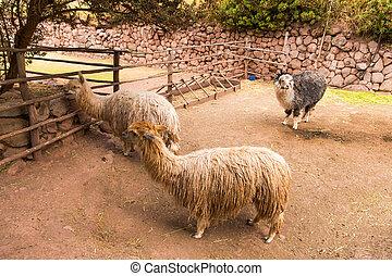 Peruvian alpaca. Farm of llama,alpaca,Vicuna in Peru,South...