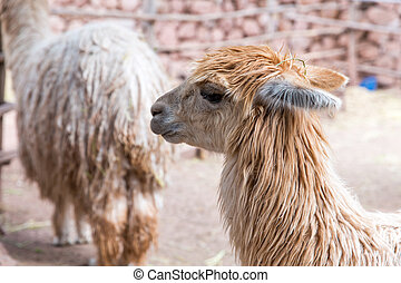Peruvian vicuna. Farm of llama,alpaca,Vicuna in Peru,South...