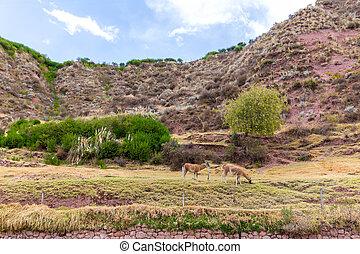 Farm of llama,alpaca,Vicuna in Peru,South America. Andean...