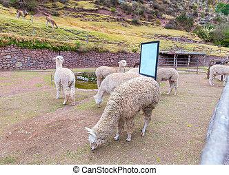 Peruvian Llama Farm of llama,alpaca,Vicuna in Peru,South...