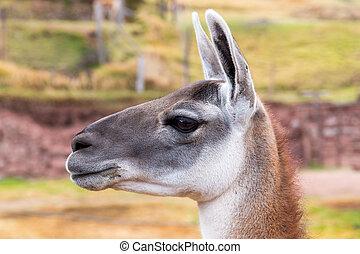 Peruvian Llama. Farm of llama,alpaca,Vicuna in Peru,South...