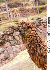 Peruvian alpaca. Farm of llama,alpaca,Vicuna in Peru,South...