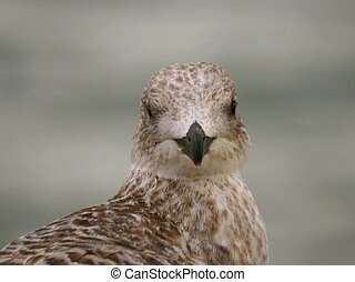 Gull close up - Close up of juvenile gull bird brown and...