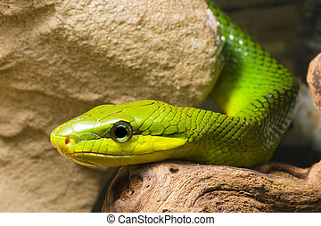 Red Tailed Racer - young Red Tailed Racer (Gonyosoma...