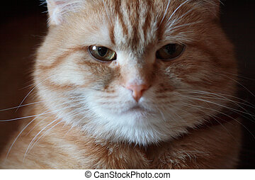 Angry cat portrait - Close-up of fat angry cat muzzle on...