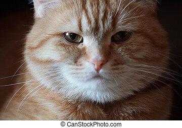 enojado, gato, retrato