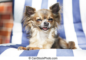 Chihuahua panting with closed eyes - A cute mini long haired...