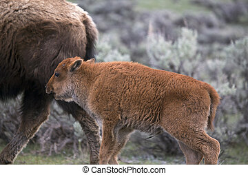 Yellowstone National Park Bison Buffalo and Baby Calf
