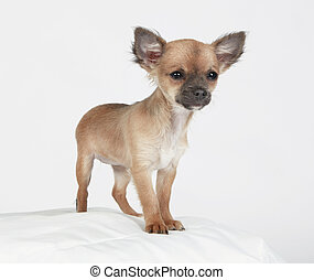 Young small dog looking curiously at camera, studio portrait...