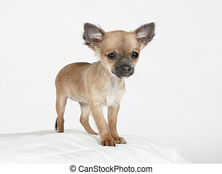 Little chihuahua puppy looking, background white, studio...