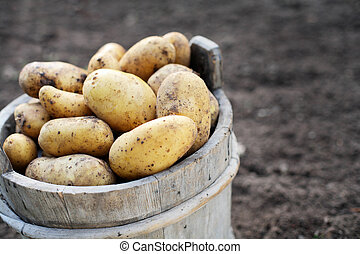 Potatos - Harvested potatos in old wooden bucket. Short...