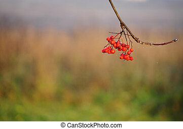 Fall. Rowanberry