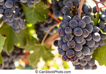 Vineyard - Close up of red wine grapes hanging on vine