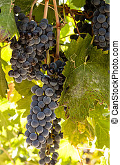 Vineyard - Red wine grapes hanging on the vine back lit by...