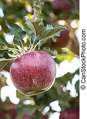 Orchards - Red apple hanging on the tree in orchard in the...