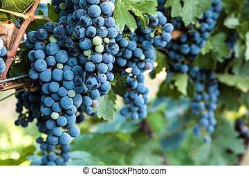 Vineyard - Bunches of red wine grapes hanging on the vine in...