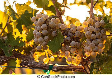 Vineyard - Bunches of white wine grapes hanging on the vine...
