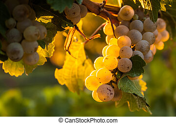 Vineyard - Close up of a bunch of white wine grapes hanging...