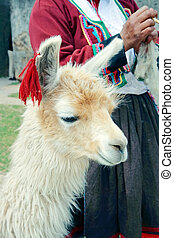 Peruvian Lama - Lama with Peruvian woman spinning yarn in...