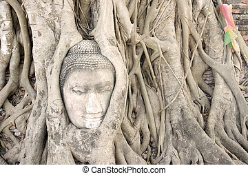 Buddha head in tree roots. - Buddha head encased in tree...
