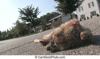 Roadkill Drive-By - A car speeds by a dead rabbit on a...